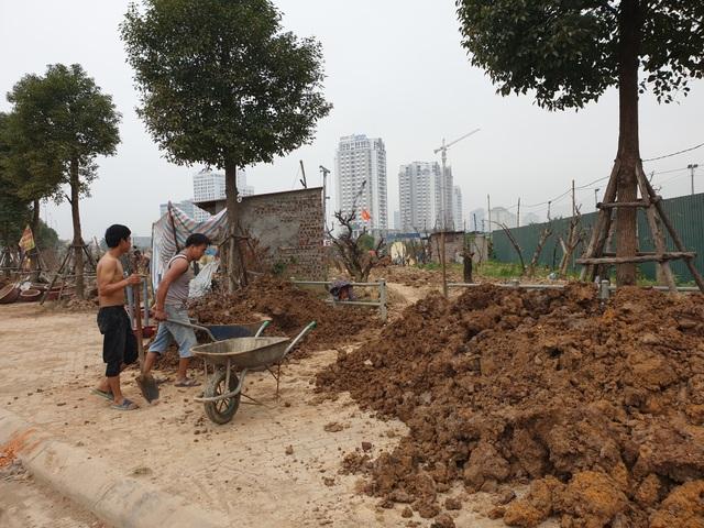 Người trồng đào Phú Thượng tất bật chuẩn bị vụ mới - 1