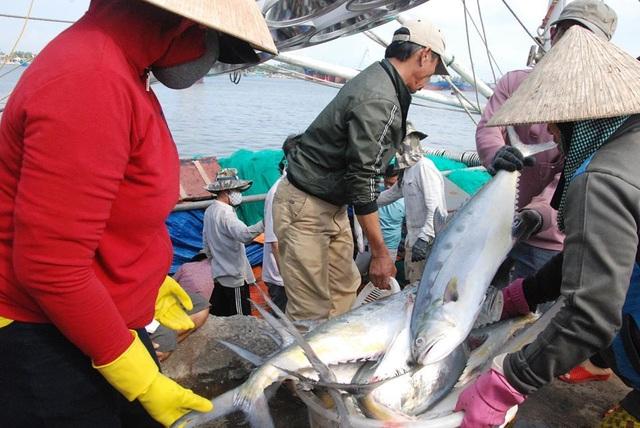 """Tận mắt nhìn mẻ cá """"siêu khủng"""" 100 tấn trong lưới ngư dân Quảng Trị - 10"""