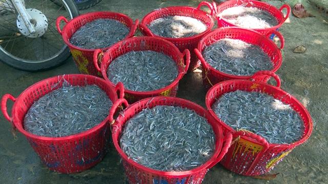 Trúng đậm cá cơm, ngư dân thu hàng chục triệu đồng mỗi chuyến biển - 1