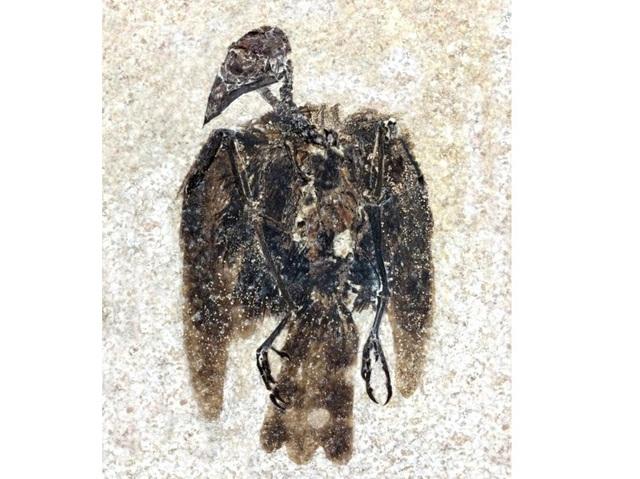 Phát hiện hóa thạch chim 52 triệu năm vẫn còn dính cả lông - 1