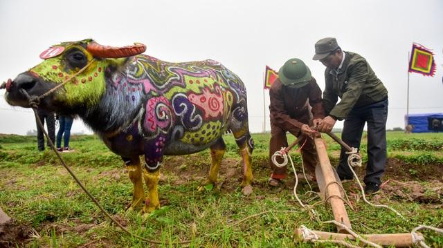 """Chú trâu và chiếc cày được chuẩn bị sẵn sàng cho nghi thức """"Vua"""" xuống ruộng đi cày."""