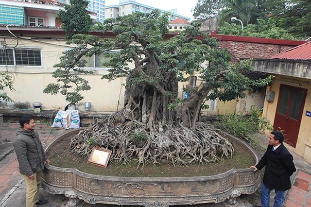 """Hai cây sanh """"khủng"""" của doanh nhân bí ẩn ở Hà Nội - 1"""