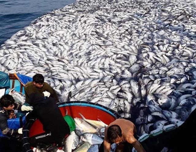 """Tận mắt nhìn mẻ cá """"siêu khủng"""" 100 tấn trong lưới ngư dân Quảng Trị - 7"""