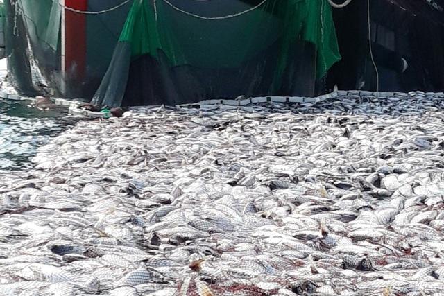 """Tận mắt nhìn mẻ cá """"siêu khủng"""" 100 tấn trong lưới ngư dân Quảng Trị - 8"""