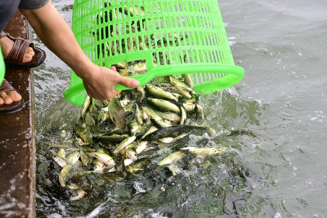 15.000 người chuyền tay phóng sinh hơn 10 tấn cá ở Hà Nội - 9