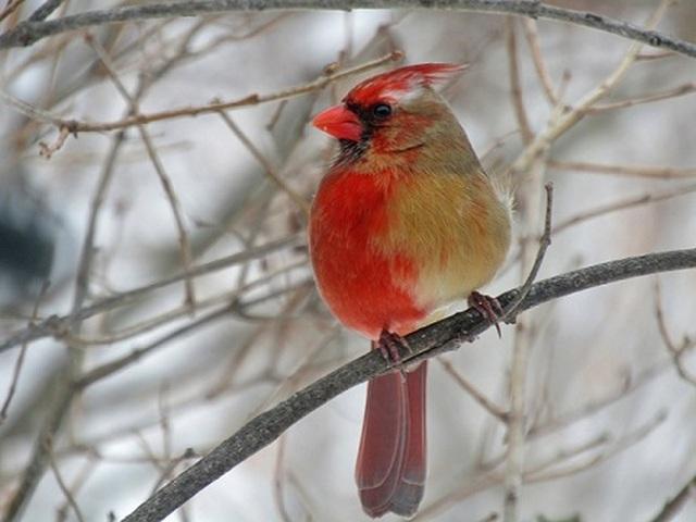 Kỳ lạ chú chim nửa bên trái là cái, nửa bên phải là đực - 1