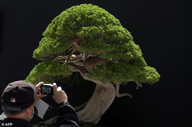 Loạt cây bonsai đắt giá bị đánh cắp, nghệ nhân xin kẻ trộm hãy chăm sóc cây tốt - 2