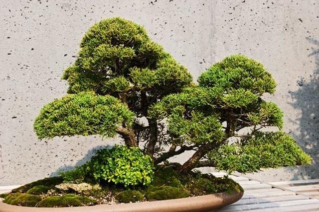 Loạt cây bonsai đắt giá bị đánh cắp, nghệ nhân xin kẻ trộm hãy chăm sóc cây tốt - 1