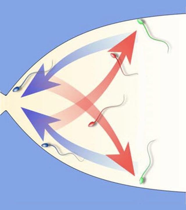 """Nghiên cứu mới về """"chốt chặn"""" ngăn cản các tinh trùng chậm đến gặp trứng - 2"""