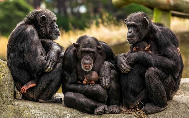 Ngôn ngữ kí hiệu của tinh tinh giống tiếng nói của loài người - 1
