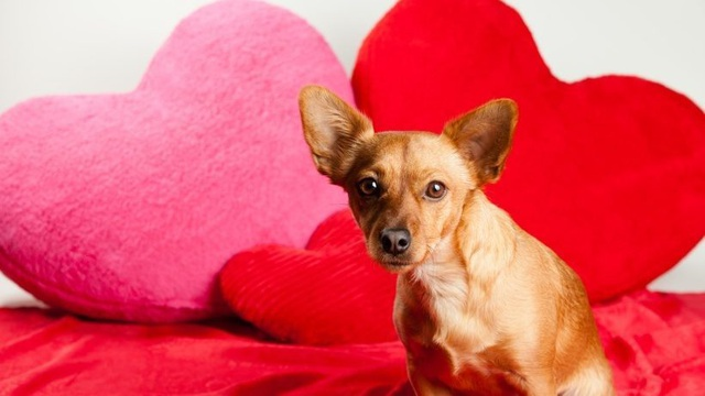 Dân Mỹ chi tới 751 triệu USD để mua thú cưng tặng người yêu dịp Valentine năm nay.