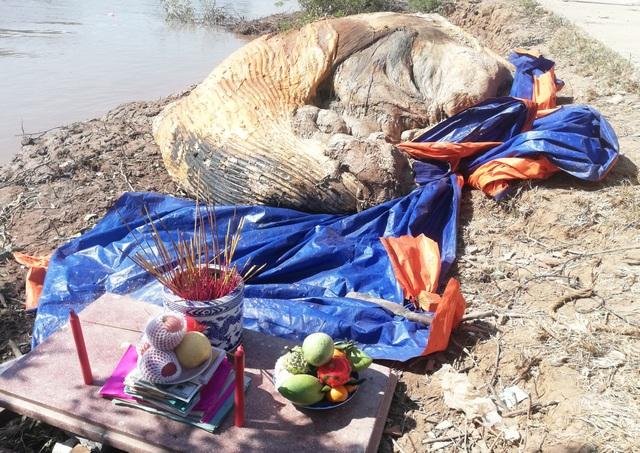 Xác cá voi hơn 10 tấn trôi dạt vào vùng biển Bạc Liêu - 6