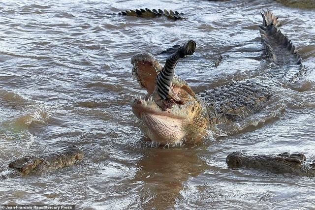 Ngựa vằn bị đàn cá sấu hung tợn xé xác trên khúc sông tử thần - 2