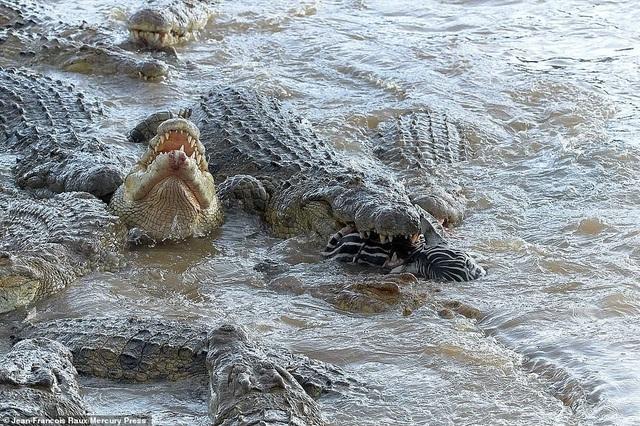 Ngựa vằn bị đàn cá sấu hung tợn xé xác trên khúc sông tử thần - 3