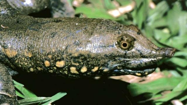 Phát hiện loài rùa mới ở miền trung Việt Nam - 1