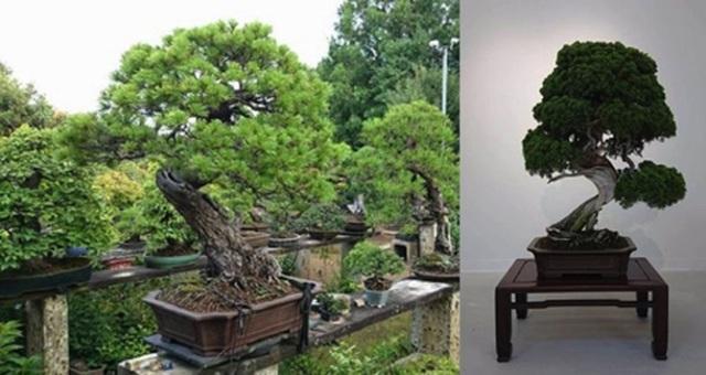 """Sành cây cảnh, trộm """"thó"""" luôn cây bonsai 400 tuổi trị giá hơn hai tỉ đồng - 1"""