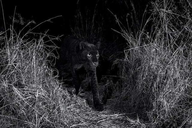 Cá thể báo đen gần nhất được chụp ở Kenya sinh ra ở New York - 2