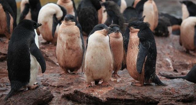 Theo dõi thực đơn của chim cánh cụt bằng… ảnh chụp từ không gian  - 1