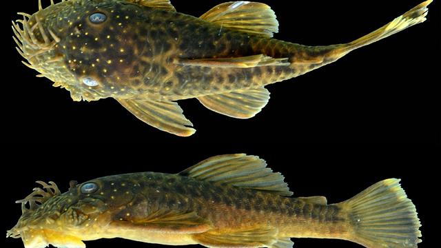 Phát hiện những loài cá xấu xí ở Amazon - 1