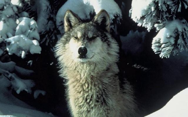 Chó sói đang quay lại Đức vô tình nhờ… quân đội - 1