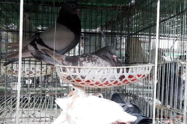Chàng thanh niên kiếm hàng trăm triệu đồng từ chim bồ câu Pháp - 2