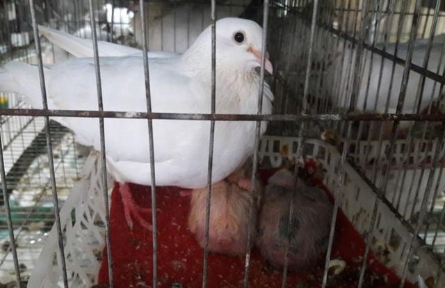 Chàng thanh niên kiếm hàng trăm triệu đồng từ chim bồ câu Pháp - 5