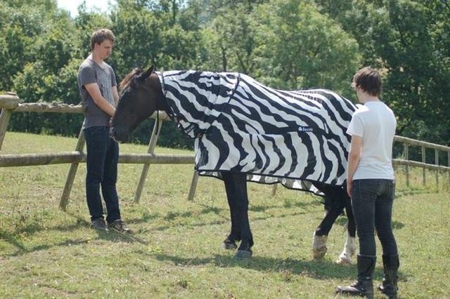 Tại sao ngựa vằn lại có sọc? - 2