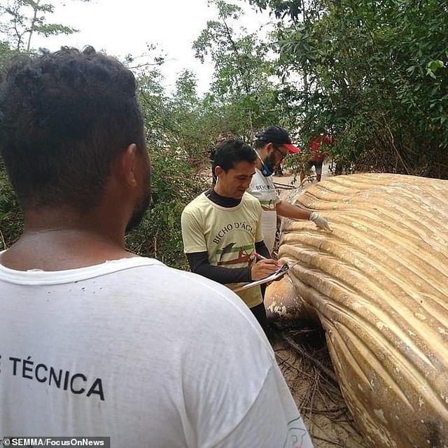 Bí ẩn xác cá voi khổng lồ đột nhiên xuất hiện trong rừng rậm Amazon - 2