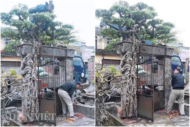 Xôn xao Nam Định: Cây sanh cổ bán kèm cổng nhà giá 6.000 USD? - 1