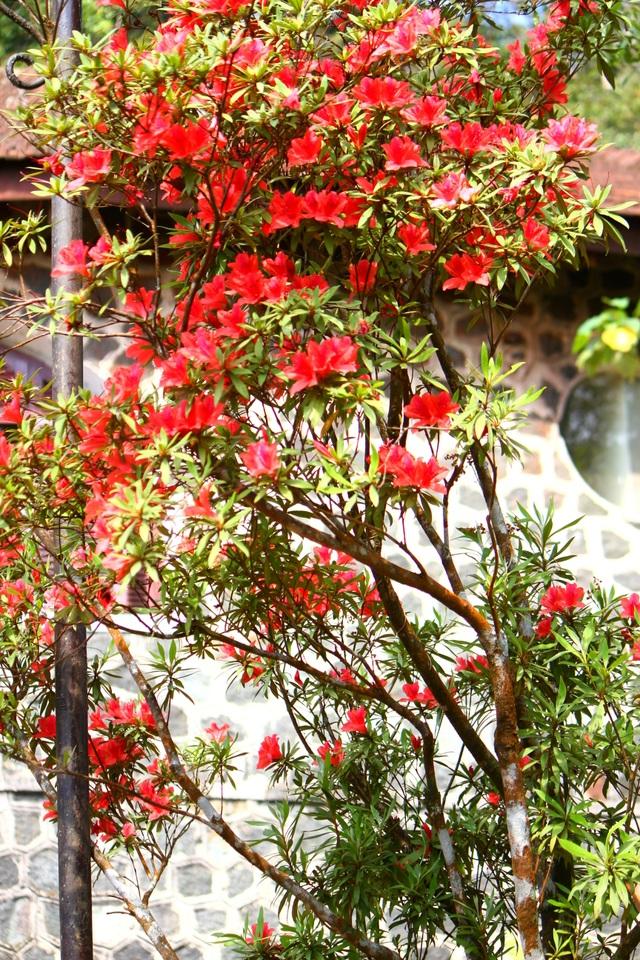 Kỳ ảo sắc hoa Đỗ Quyên trong mùa xuân mới - 2