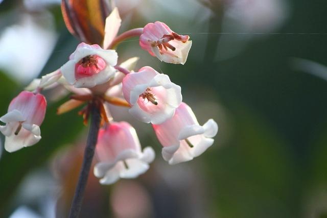 Kỳ ảo sắc hoa Đỗ Quyên trong mùa xuân mới - 16