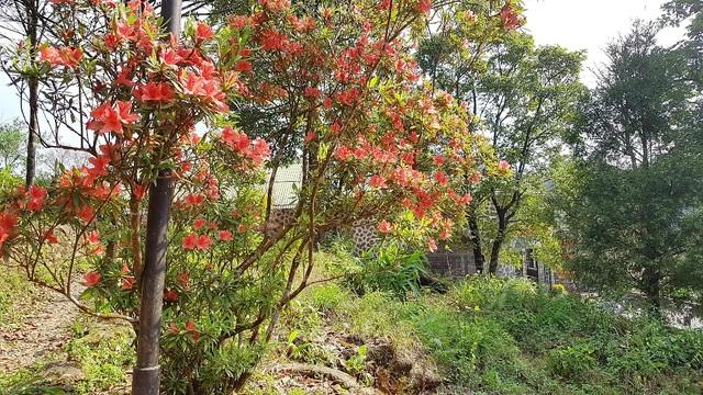 Kỳ ảo sắc hoa Đỗ Quyên trong mùa xuân mới - 1