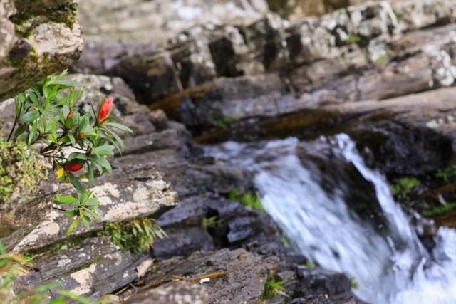 Kỳ ảo sắc hoa Đỗ Quyên trong mùa xuân mới - 3