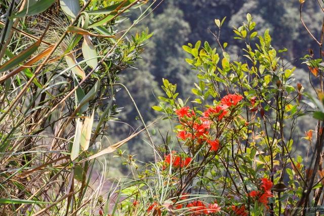 Kỳ ảo sắc hoa Đỗ Quyên trong mùa xuân mới - 4