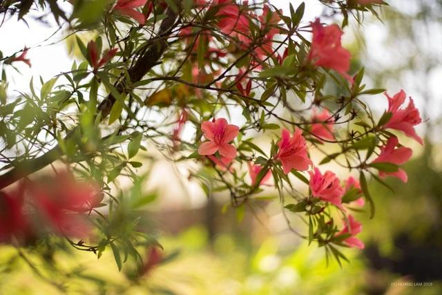 Kỳ ảo sắc hoa Đỗ Quyên trong mùa xuân mới - 5
