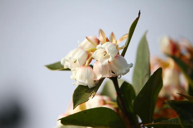 Kỳ ảo sắc hoa Đỗ Quyên trong mùa xuân mới - 8