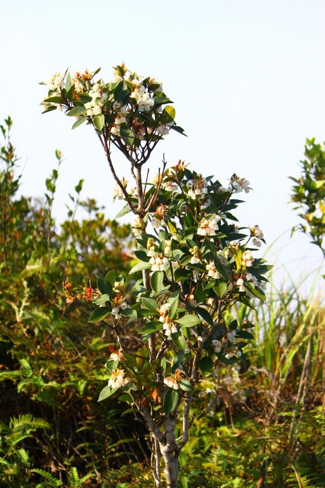 Kỳ ảo sắc hoa Đỗ Quyên trong mùa xuân mới - 9