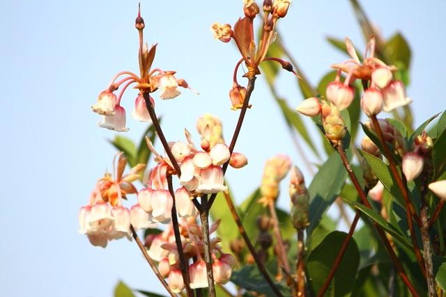 Kỳ ảo sắc hoa Đỗ Quyên trong mùa xuân mới - 6