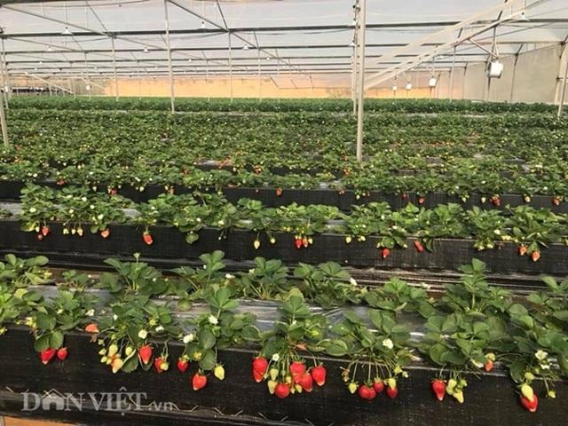 Bỏ việc nhà nước, cắm sổ đỏ trồng dâu tây, khách nườm nượp - 1