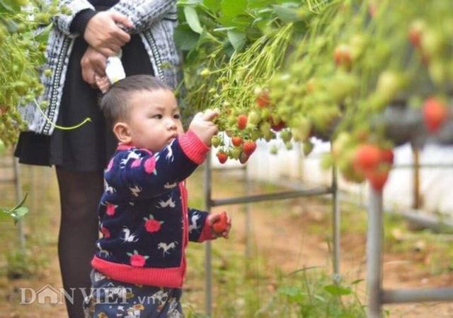 Bỏ việc nhà nước, cắm sổ đỏ trồng dâu tây, khách nườm nượp - 4