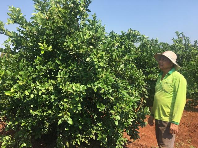 Lão nông trồng chanh trên đất đỏ, thu gần 1 tỷ đồng mỗi năm - 1