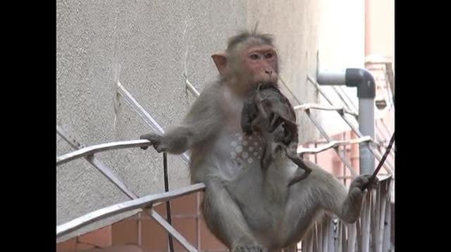 Khỉ mẹ cụt tay vẫn ôm chặt không rời xác của con đã chết khô  - 1