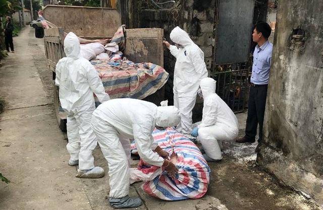 Hà Nam: Tiêu hủy hơn 500 con lợn trong 7 ổ dịch tả lợn châu Phi  - 1