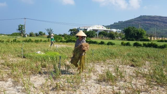 Quảng Ngãi: Hơn 320 ha trồng tỏi của Lý Sơn có nguy cơ mất mùa - 1