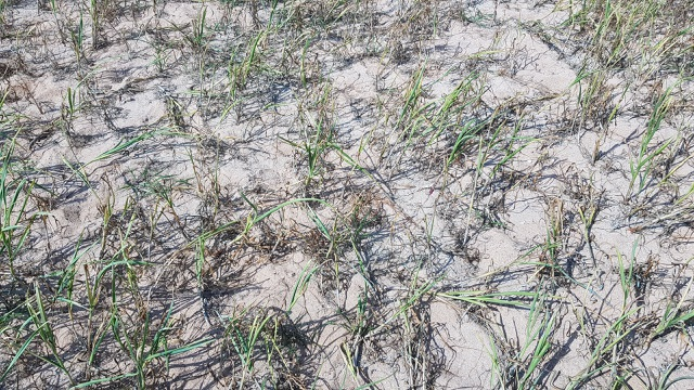 Quảng Ngãi: Hơn 320 ha trồng tỏi của Lý Sơn có nguy cơ mất mùa - 3