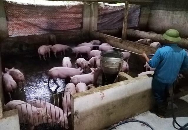 """Dịch tả lợn châu Phi """"nhảy cóc"""" ở Nghệ An, diễn biến phức tạp - 2"""