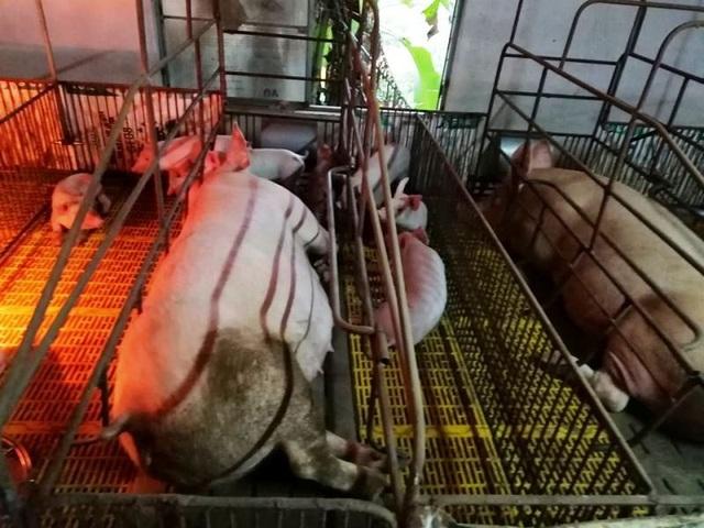"""Dịch tả lợn châu Phi """"nhảy cóc"""" ở Nghệ An, diễn biến phức tạp - 1"""