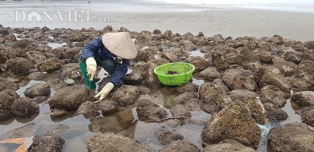Nam Định: Săn lộc biển bé tin hin, bám ở đá, kiếm nửa triệu đồng/ngày - 1