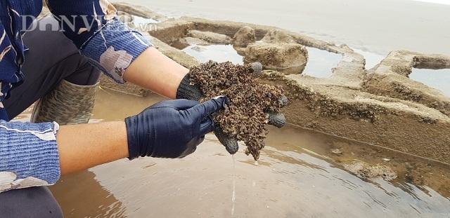 Nam Định: Săn lộc biển bé tin hin, bám ở đá, kiếm nửa triệu đồng/ngày - 2