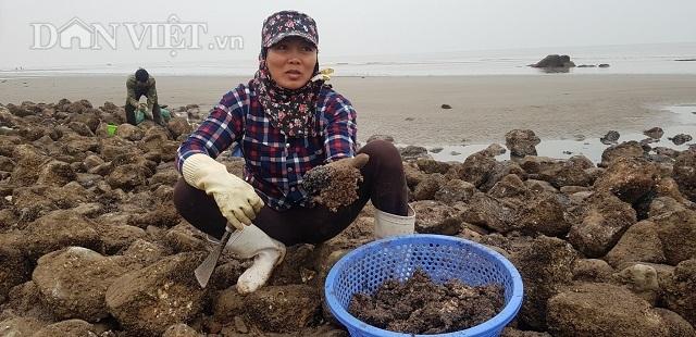 Nam Định: Săn lộc biển bé tin hin, bám ở đá, kiếm nửa triệu đồng/ngày - 3